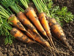 home garden fresh carrots from the garden