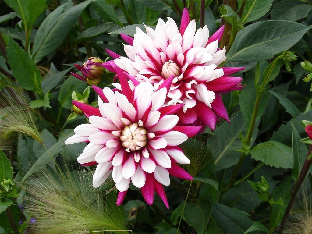 Perennial-White-Dahlia-Flower