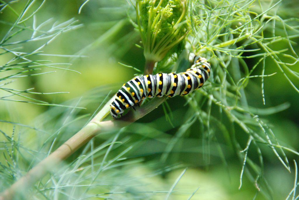 parsleyworm-21