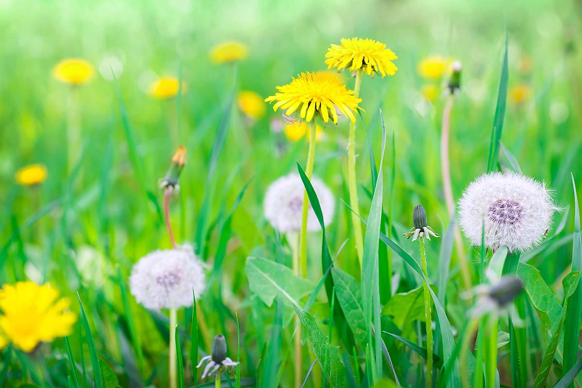 dandelion control treatment services
