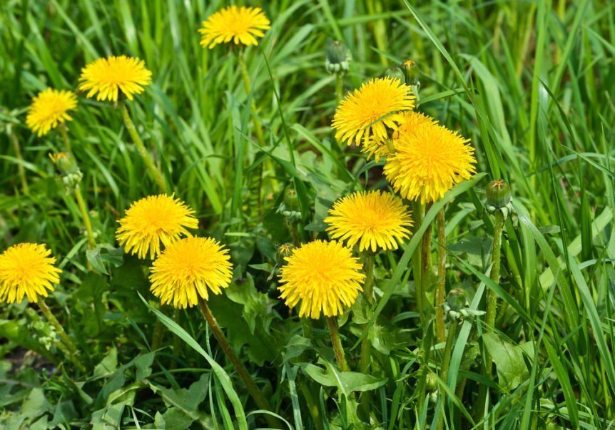 weed prevention for dandelions
