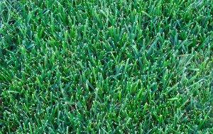 bluegrass lawn
