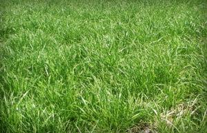ryegrass lawn