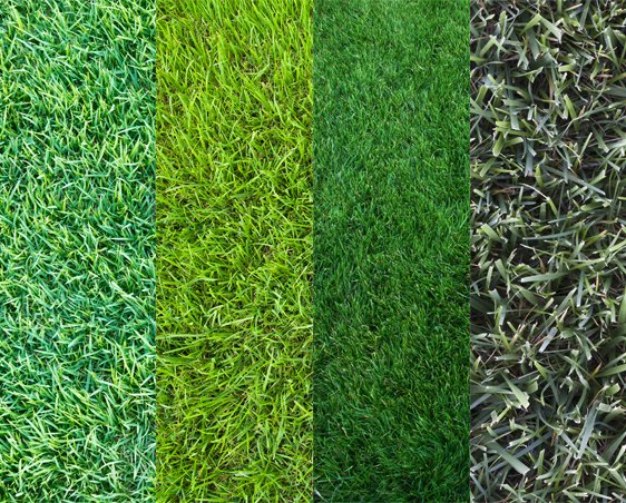 Proper care for your grass type weed a way lawn care - Tipos de cesped ...