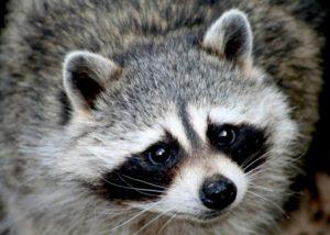 raccoon grub damage