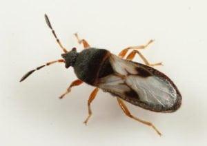 chinch bug up-close