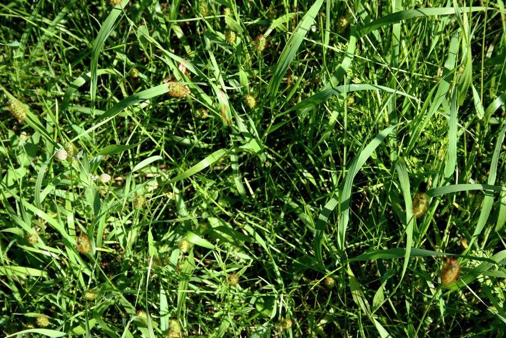 It 39 S A Weed It 39 S A Grass It 39 S Both Weed A Way Lawn