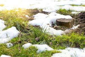 grass snow mold on lawn
