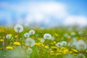 dandelion control weed killer