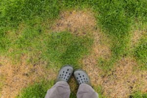 Lawn pest control for dry damaged grass