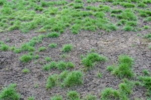 Dry patchy lawn, diseased grass